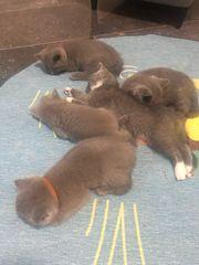 Bkh kitten ab 12 Woche
