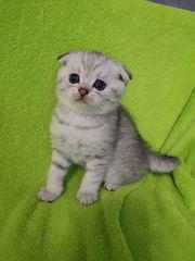 Wunderschöne BKH Kitten suchen liebevolle