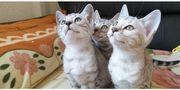 Bengal Kätzchen in silber Abgabebereit