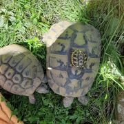5 Griechische Landschildkröten THB adult