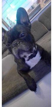 Liebe Französische Bulldogge abzugeben