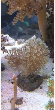 Korallen Meerwasser