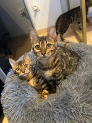 Bengal Babykatzen