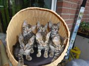 Reinrassige Bengal Katzen mit super