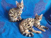 Bengal Kitten mit Stammbaum ab
