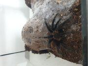 Vogelspinne incl Terrarium Lasiodora parahybana