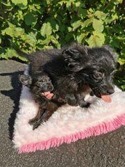 2 tolle Chihuahua Zwergspitz Welpen