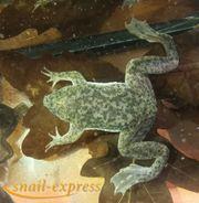 Pipa parva - Kleine Wabenkröte
