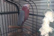 Rosa Kakadu Vogel Rosakakadu Papagei
