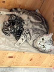 BKH Kitten reinrassige Black Silver