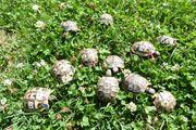 junge griechiche Landschildkröten NZ von