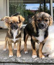 2 süße Pekinesen Chihuahua Mischlinge