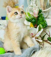 Reinrassige Golden Bkh Katzenbaby Kitten