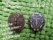 Wasserschildkröten Falsche Landkarten-Höckerschildkröten Graptemys pseudogeographica