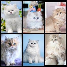 Edle Britisch Langhaar BLH Kitten in Silver und Point