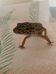 Leopard Gecko leopardgecko Männchen