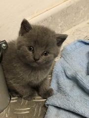 Baby Katze Kätzchen Britisch Kurzhaar