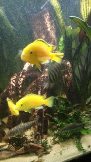 Labidochromis Yellow Malawi Barsche