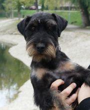 temperamentvoller Terrier Mix Rüde Roki