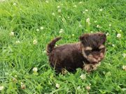 Yorkshire Terrier Welpen Schoko Rüde