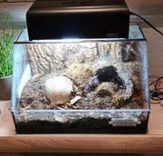 Vogelspinne inkl Terrarium komplett