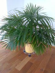 Schirmpalme Livistona Rotundifolia