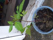 Verkaufe Sumpfblutauge für Gartenteich