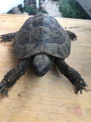 Landschildkröte thb männlich abzugeben