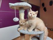 Bkh Kitten mit Stammbaum in