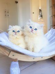 Wintertraum BLH Kitten