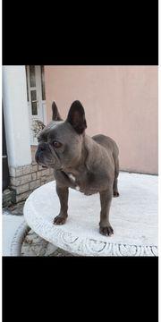 Französische Bulldogge Deckrüde blau mit