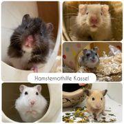Hamster aus Pflegestelle zu vermitteln