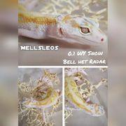 Leopardgecko 0 1 WY MS