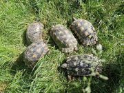 Zuchtpaar Griechische Breitrandschildkröten Testudo Marginata