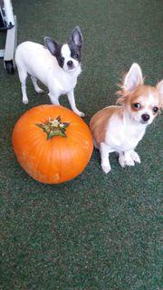 Zwei Süße Chihuahua Babys