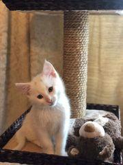 Bildhübscher BKH Kitten Kater
