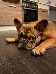 Deckrüde -französische Bulldogge merle
