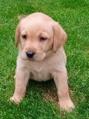 Wunderhübsche reinrassige Labrador Welpe Rüde