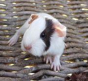 Süße Meerschweinchen Mädels Baby abzugeben
