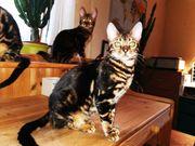 reinrassige Bengal-Kitten mit Stammbaum Katzen