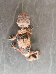 Nephrurus cinctus Weibchen