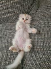 BKH BLH Kitten abgabebereit