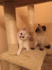 BHK Kitten 2 Kater