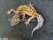 20g subadulte Leopardgecko 2020 Männchen