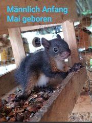 Junge und ältere Eichhörnchen von