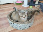 Bkh Golden Kitten