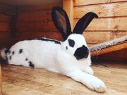 Kaninchen - Dame Dora sucht eine