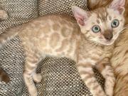 Exklusive Bengal Kitten Snow Mink