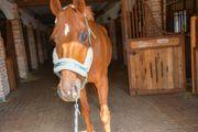 Reitbeteiligung auf Dressurpferd zu vergeben