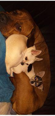 Chihuahua Päärchen